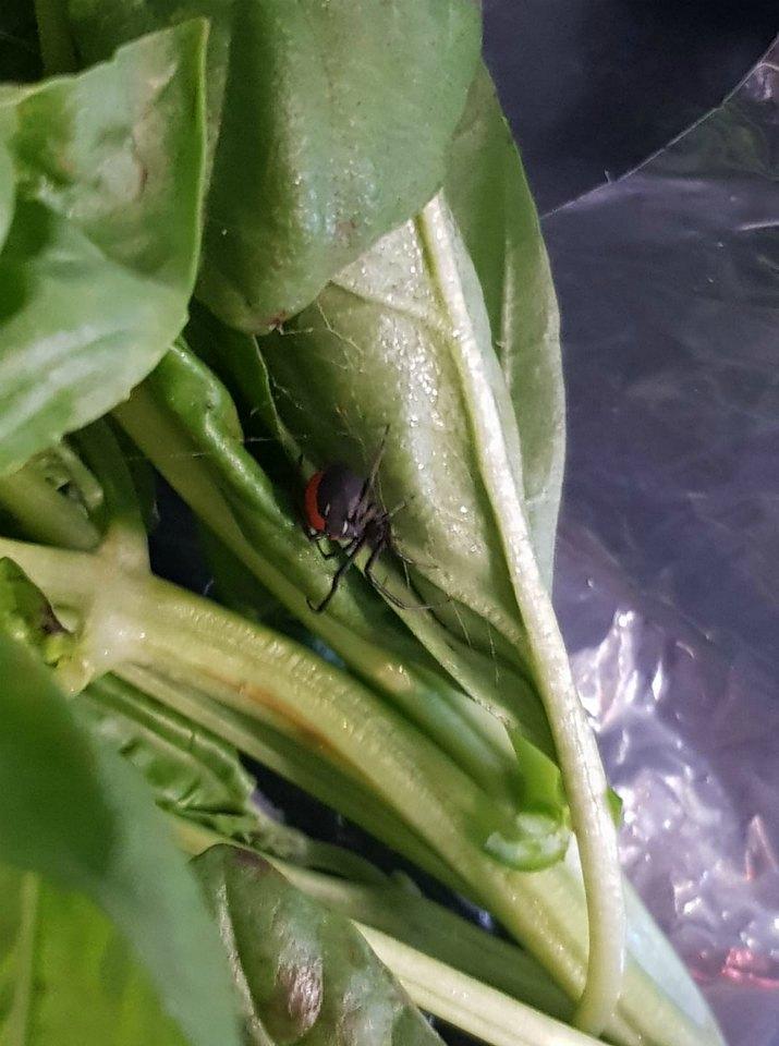 spider-basil